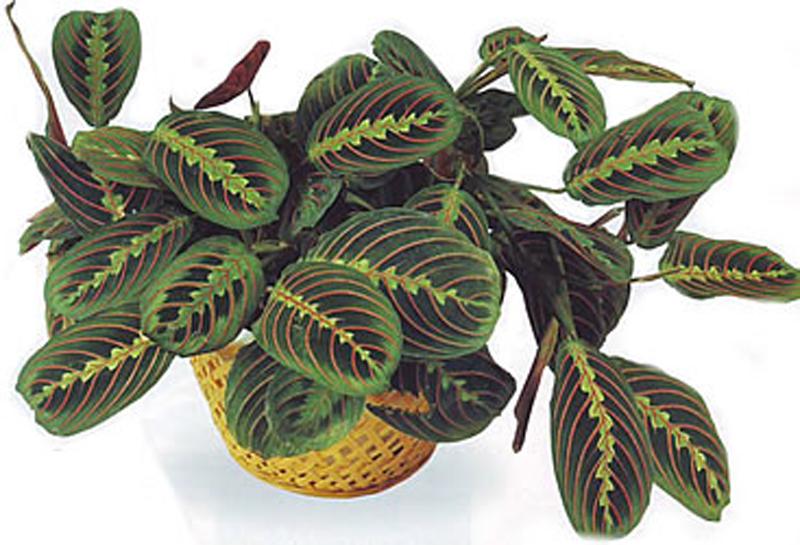Maranta bicolor - маранта двухцветная со странной судьбой))1взяла её с одним засохшим листиком, тк